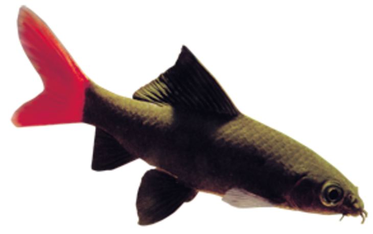 Red Tailed Shark (Epalzeorhynchus bicolor)