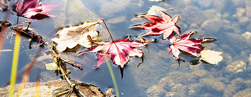 Tips for pond care in autumn