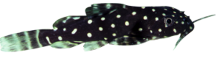 Perlhuhnwels (Synodontis angelicus)