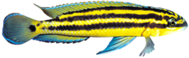 Julie (Julidochromis  ornatus)