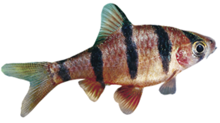 Five Banded Barb (Barbus pentazona)